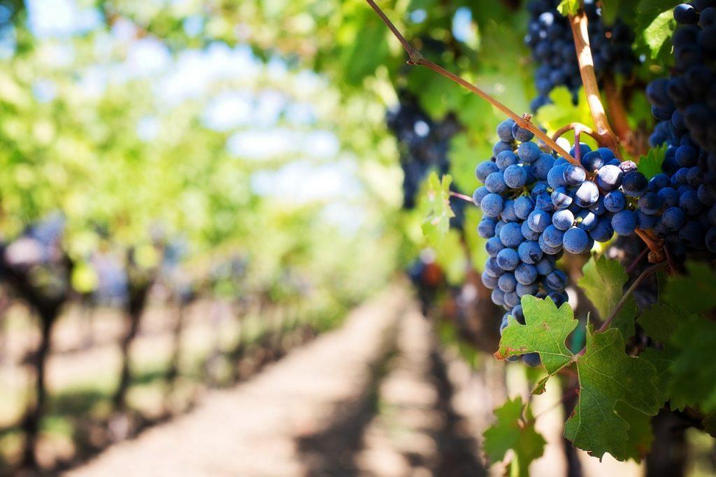 wine tour of Kent vineyards