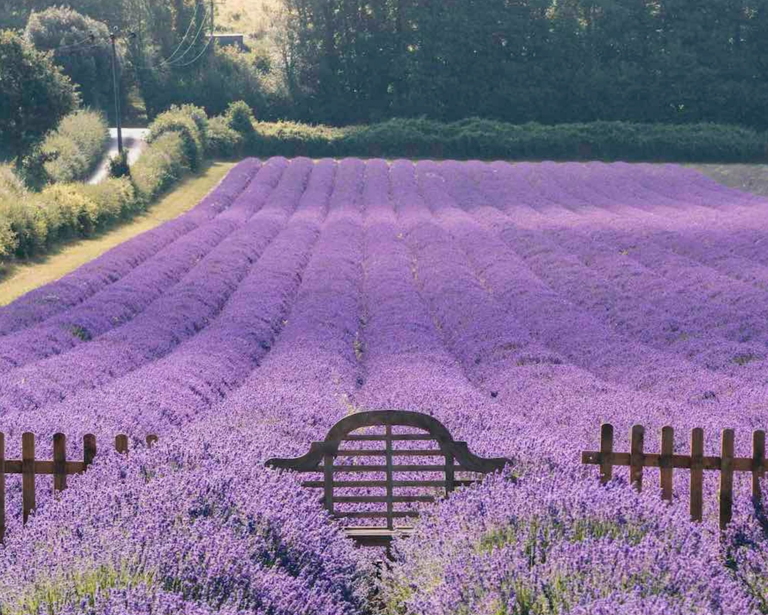 Field of lavender in Kent