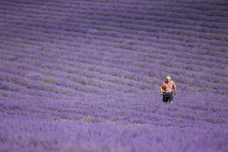 Lavender season in Kent