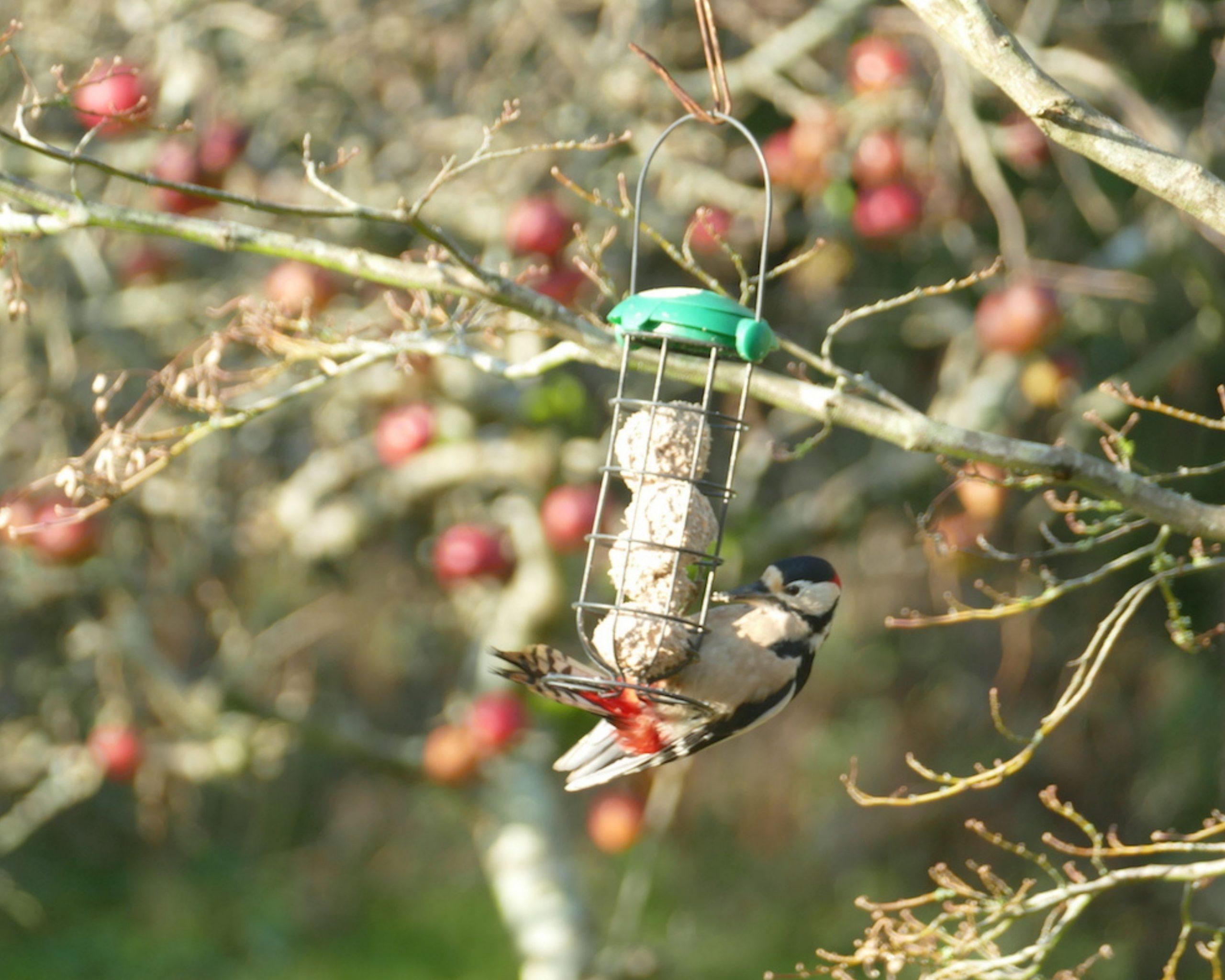 woodpecker at the bird feeder