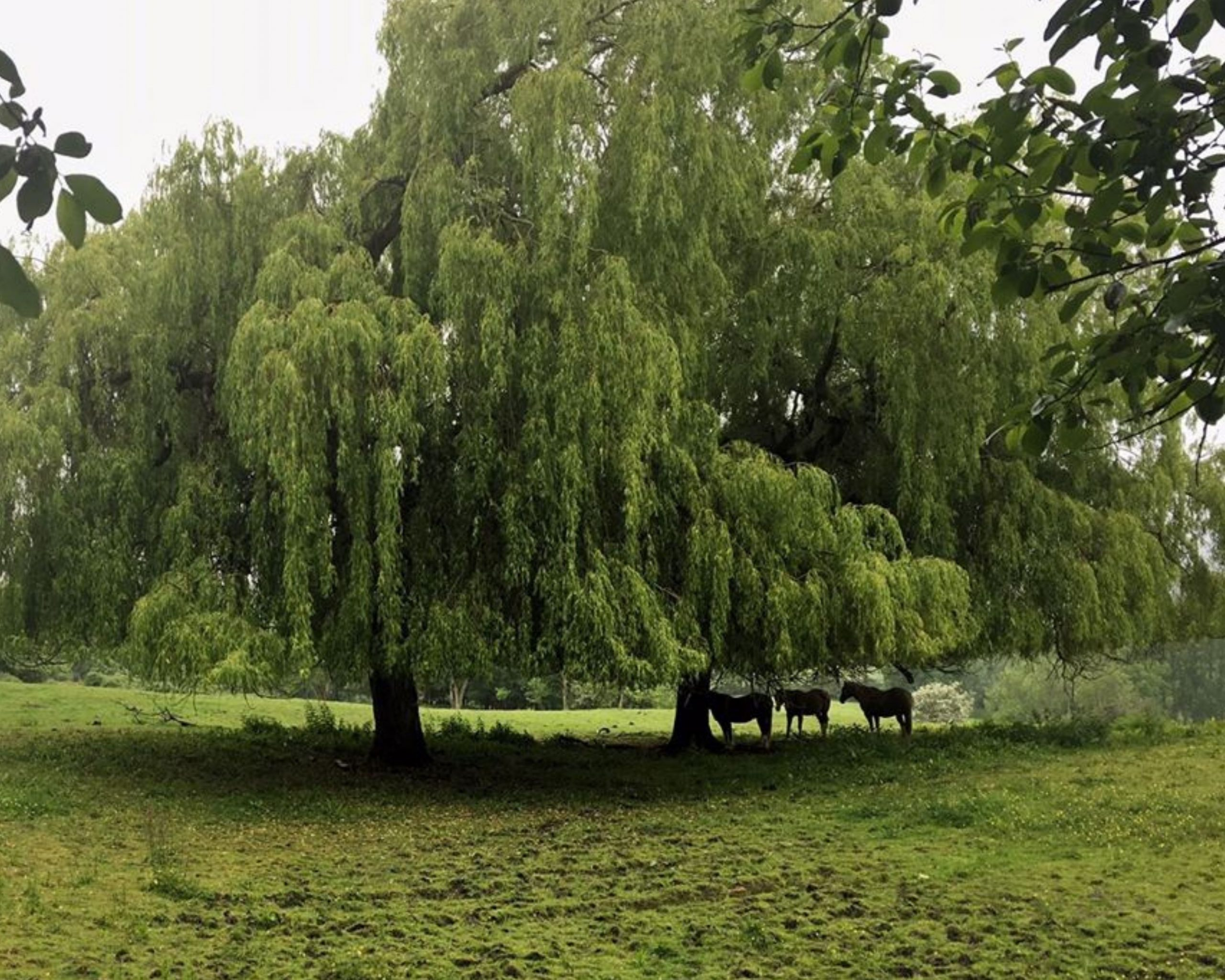 Horses sheltering under a tree